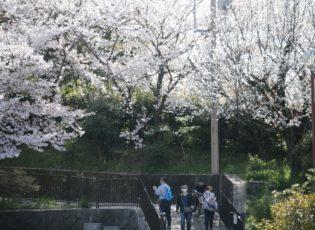 北堀公園の桜