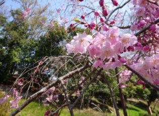 北堀公園の桜を楽しみました。